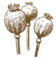 engraving of three poppy pod vector image vector image