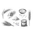 hand drawn wheat cereal spikelets barley in hand vector image vector image