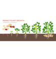 peanut growing stages in flat vector image vector image