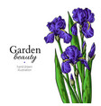 iris bouquet flower and leaves drawing vector image