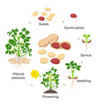 peanut growth stages in flat vector image vector image