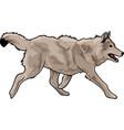 running gray wolf vector image