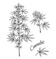 hand drawn cannabis linear sketch marijuana vector image