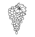 graphic bunches of grapes hanging on the branch vector image vector image