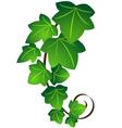 ivy twig vector image