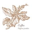 coffee branch sketch vector image vector image