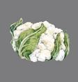 watercolor cauliflower vector image
