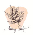 bay leaf hand drawn ink design vector image