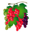 bunch of grapes with a leaf on a white background vector image