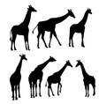 set of giraffes vector image vector image