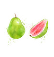 watercolor pink guava vector image