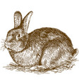 engraving of bunny vector image vector image