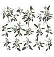 eucalyptus silver zerin cineraria greenery gum vector image vector image