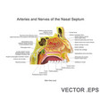 arteries and nerves of the nasal septum vector image vector image