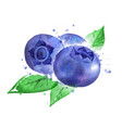 watercolor blueberry vector image vector image