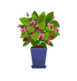 fuchsia house plant vector image vector image
