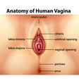 Diagram showing anatomy of human vagina vector image vector image