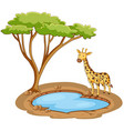 giraffe standing pond on white background vector image vector image