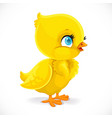little bachick isolated on a white background vector image vector image