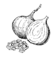 Onion hand drawn Isolated vector image vector image