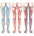Blood vessels in human legs vector image vector image