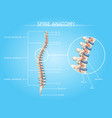 human spine anatomy medical infographic vector image vector image