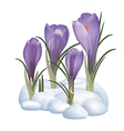 crocuses flowers on a snow vector image vector image