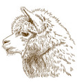 engraving drawing of fluffy llama head vector image vector image