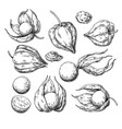physalis fruit drawing golden berry sketch vector image vector image