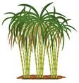 sugar cane plant on white background vector image
