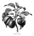 branch of plum botanical vintage engraving vector image vector image