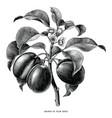 branch plum botanical vintage engraving vector image vector image