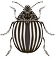 colorado potato beetle isolated on white vector image vector image