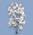 a birch tree in the winter season vector image