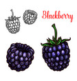 blackberry fruit sketch of sweet bramble berry vector image vector image