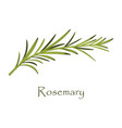 branch of rosemary on white vector image
