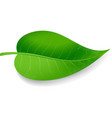 green leaf on white background vector image vector image