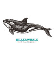 hand drawn killer whale vector image vector image