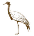 engraving drawing of demoiselle crane vector image