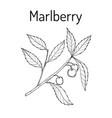 marlberry ardisia japonica medicinal plant vector image vector image