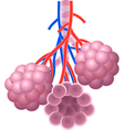 Cartoon of Human Alveoli structure Anatomy