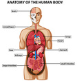Diagram showing anatomy of human body with names vector image vector image