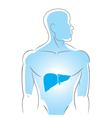 internal organs liver vector image vector image