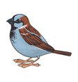 drawing sparrow vector image vector image