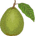 ripe guava with leaf vector image vector image