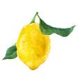 watercolor lemon fruit vector image
