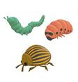 green and pink caterpillar colorado potato beetle vector image