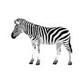 Zebra vector image vector image