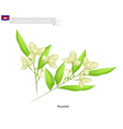 National Flower of Cambodia Rumdul vector image vector image