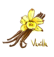 Vanilla pods with one yellow orchid Sketch with wa vector image